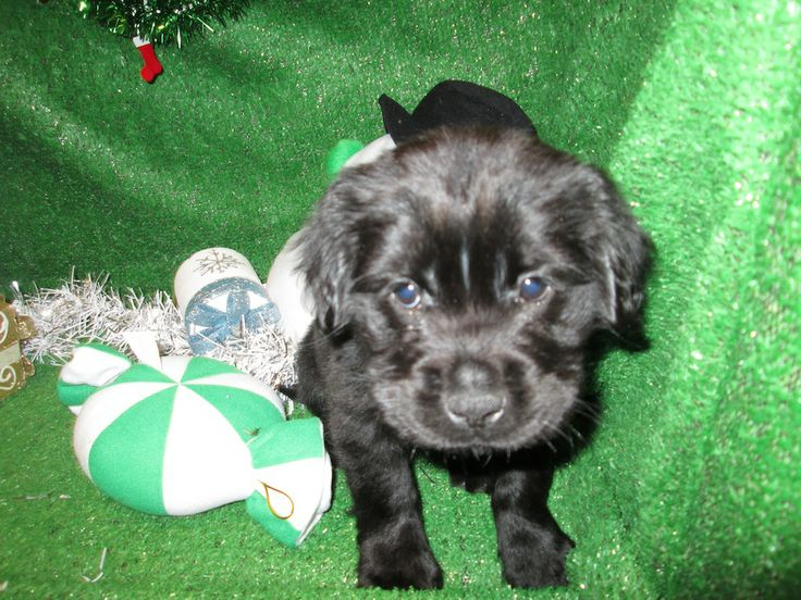 Park Art My WordPress Blog_Cocker Spaniel Puppies For Sale In Houston Texas