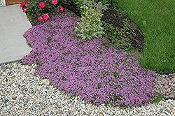 thymus purple beauty: bodembedekker tot 10 cm hoog, wintergroen (paars), winterhard. Zon! Leuk tussen staptegels.