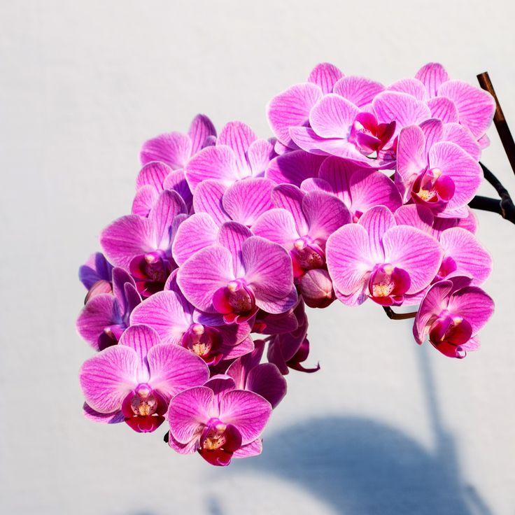 Las Orquídeas: fuentes de energía. Beneficios y usos de las flores. Esencias Florales www.afloratuser.om