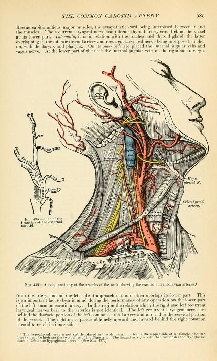 """The Common Carotid Artery"" (Gray's Anatomy). 1913.  Henry Gray (https://pinterest.com/pin/287386019942047808/ https://pinterest.com/pin/287386019948311134)."