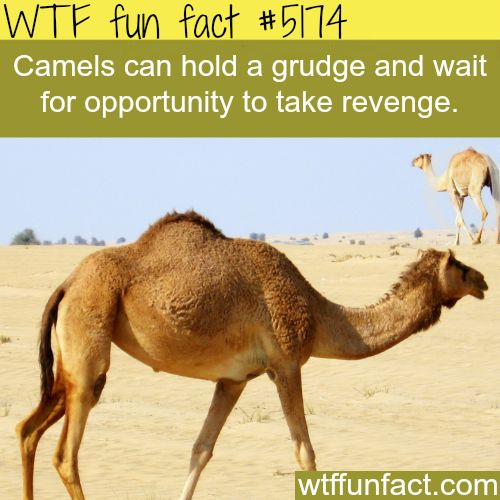 - Fact- : Camels - WTF fun facts www.letstfact.com