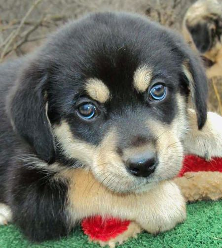 """Australian Shepherd/Pyrenees mix. Too cute!!! Look at those eyes! They're saying """"own me, own me, own me!!"""""""