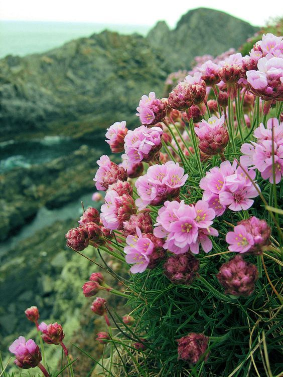 Sea thrift growing near Malin Head, Donegal, Ireland by