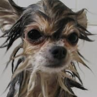 Pourquoi ne pas se passer de ces produits et concocter votre shampoing maison pour animaux ? En plus, cela vous fera économiser de l'argent et minimisera l'exposition de toute la famille aux produits chimiques.   Découvrez l'astuce ici : http://www.comment-economiser.fr/shampoing-pour-chien-naturel.html