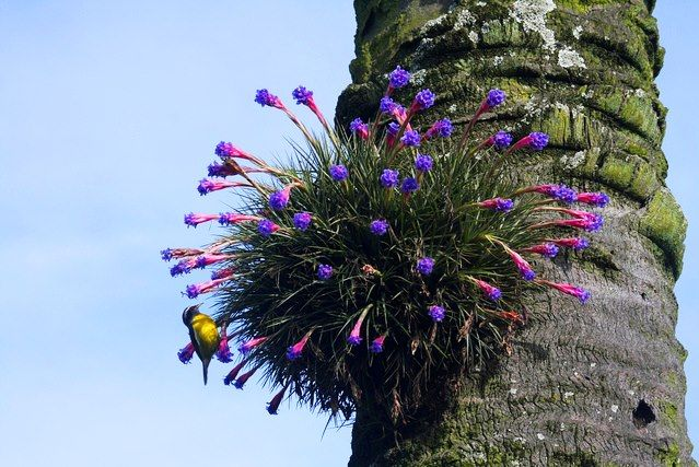 Small, and stoloniferous bromeliads.