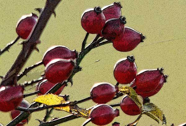 Jak sušit šípky (Růže šípková- Rosa canina L) | DOBRÁ ZÓNA