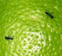Organic Ant Control