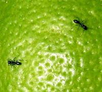 10 Ways To Get Rid of Ants without Pesticides    1. Baking soda   2. Flour & Baby Powder   3. Coffee grounds, chili powder, cinnamon, peppermint or black pepper.    4. Grits, instant rice & cream of wheat  5. Vinegar & water  6. Molasses, sugar and yeast  7. Contact paper  8. Paper cup with vaseline  9. Borax, sugar & water  10. Diatomaceous Earth