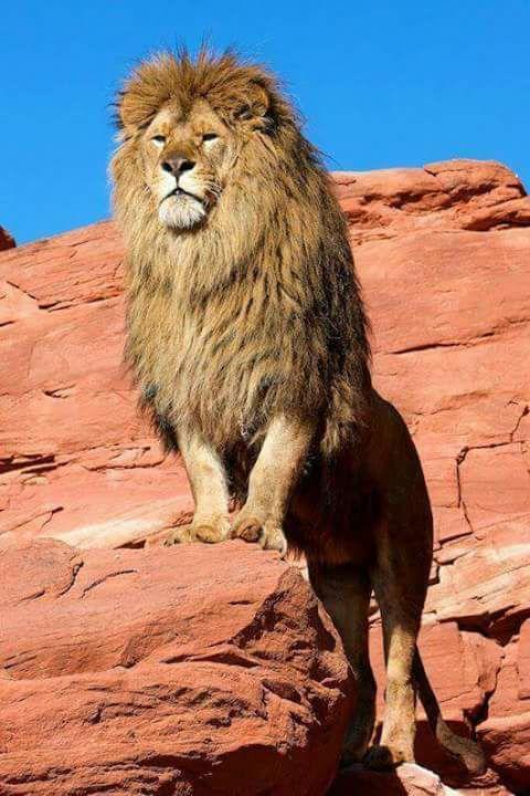 Magnifique lion. Pinterest: ♡ Angel ♡