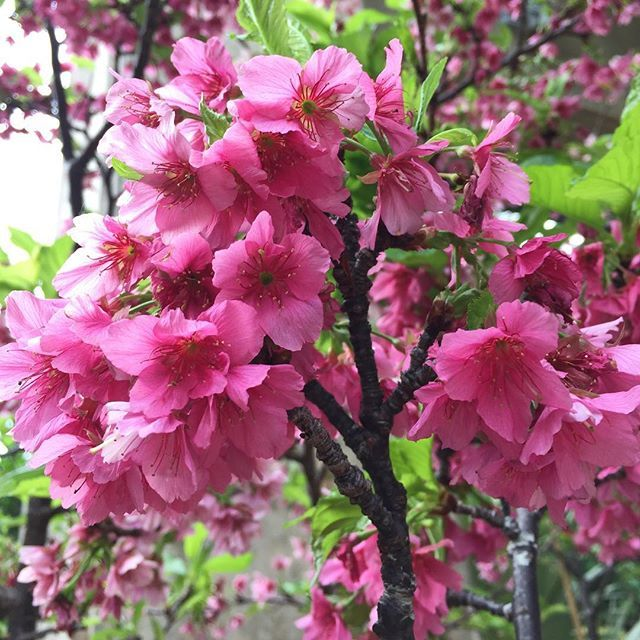 【dolcesucre】さんのInstagramをピンしています。 《✴︎ 鈴なり。 今年初めて目にした桜は、 開花調整で咲いた寒緋桜。 内地では和歌山で咲いたと聞いたけど、 春が待ち遠しい季節はもう少し続きますな。 ✴︎ #flower#flowerstagram#cherry#cool#season#okinawa#花#桜#カンヒザクラ#寒緋桜#沖縄#名護》