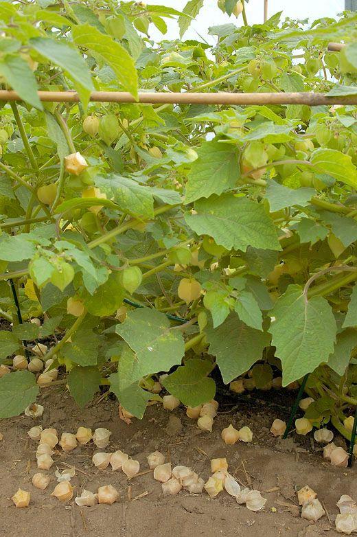 Gyllenbär, Goldie ekologiskt frö - Lindbloms.se