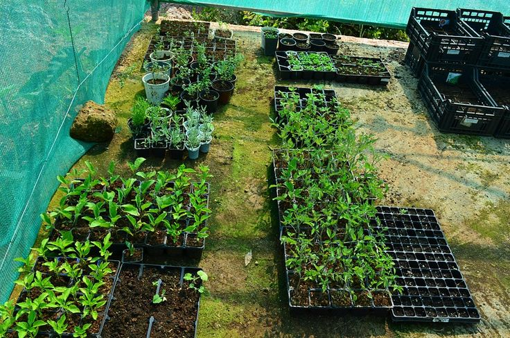 Tomato, pepper and aubergine plant seedlings!