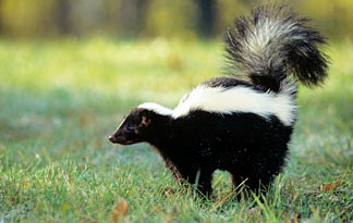 how to get skunk smell off a dog hydrogen peroxide