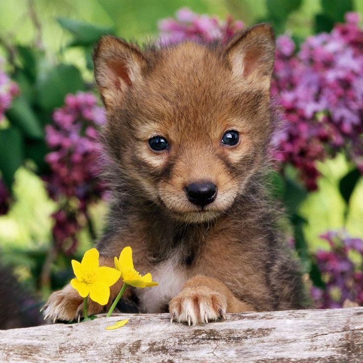 cute coyote Animal Tablet Wallpaper Cute Coyote Puppy