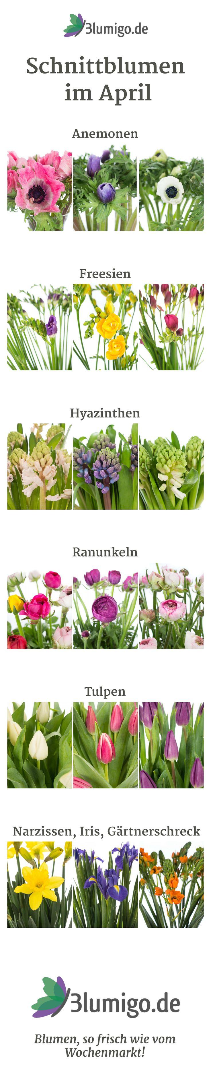 Schnittblumen im April - welche Blumen haben im April Saison? Sie können z. B. mit Anemonen, Ranunkeln, Freesien, Hyazinthen, Iris, Narzissen, Tulpen, Gärtnerschreck rechnen. #hochzeit #saisonkalender #blumendeko #brautstrauß #brautsträuße #weddingflowers #hochzeitsblumen #tischdeko #anstecker #saisonblumen #frischblumen