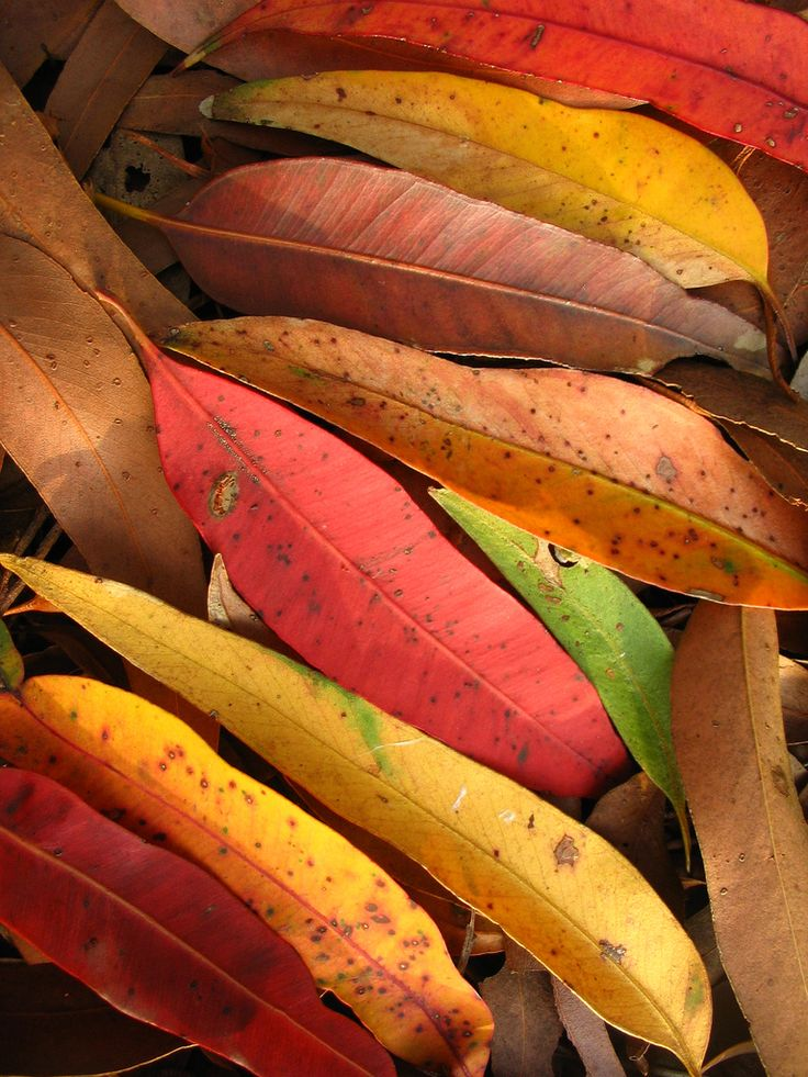 Autumn eucalyptus leaves, Australia
