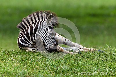 Zebra young colt calf laying down resting on summer grass in a wetland park reserve.