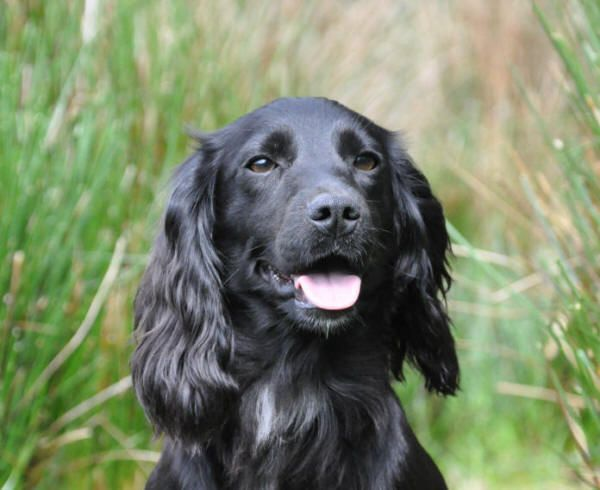 black sprocker puppies - Google Search