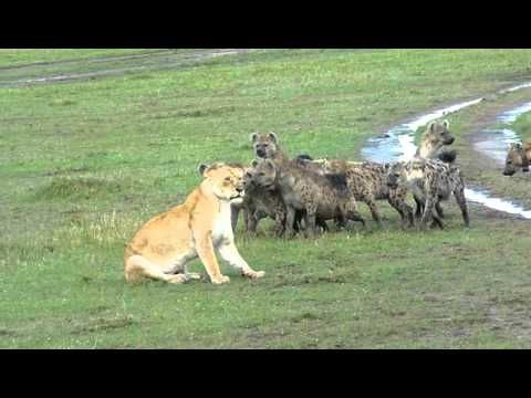 Hyenas surround Lioness and laugh!!
