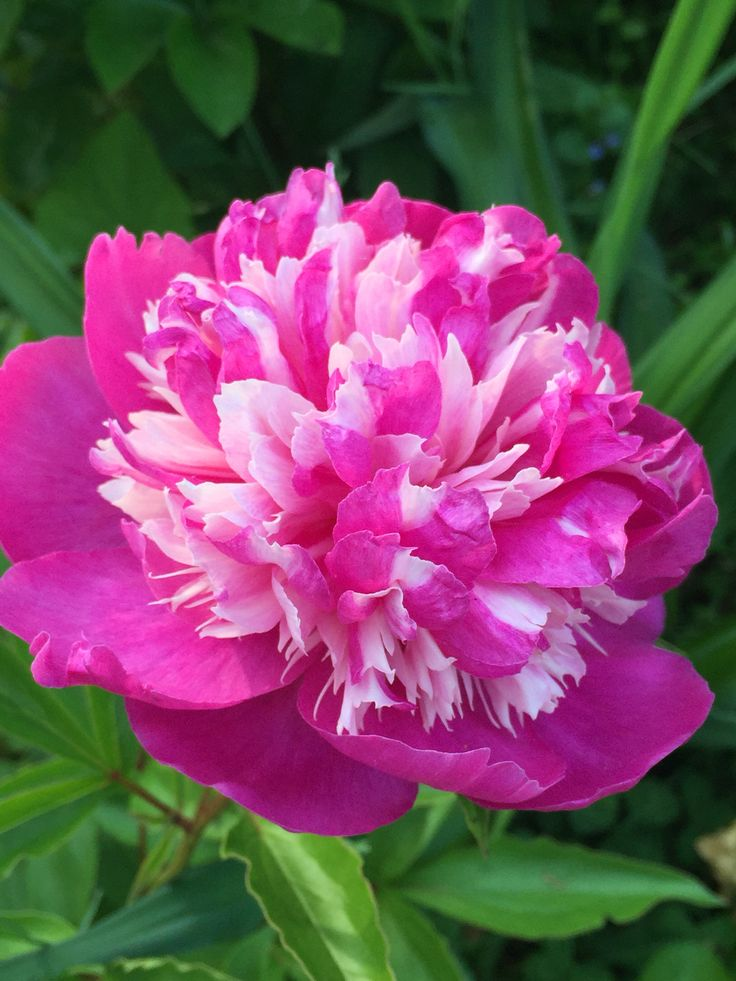 537 Best Peony Images On Pinterest Peonies Beautiful