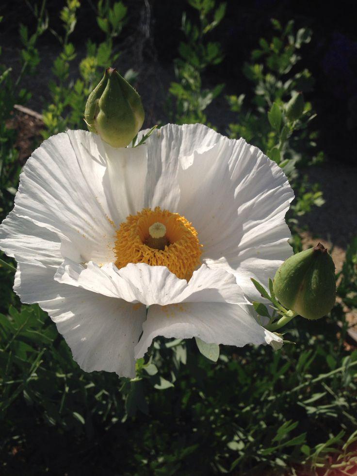 Californian Tree Poppy in flower. Fried eggs!