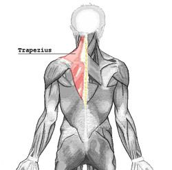 27 terms · Trapezius Muscles, Levator Scapulae, Rhomboids Muscles, Serratus Anterior, Pectoralis Minor, Supraspinatus Muscle, Infraspinatus and teres minor, Subscapularis muscle, Teres Major muscle, Deltoideus Muscle