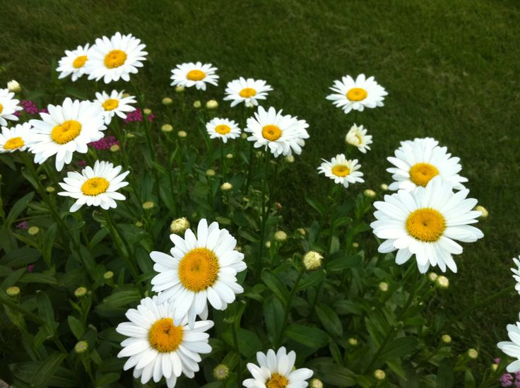 "Rose Companions: Celebrating Over Achievers | Daisies - ""the friendliest flower"""