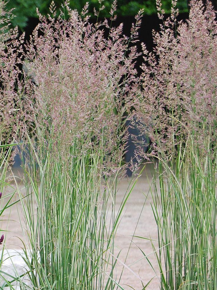 Overdam' är ett upprättväxande, ståtligt prydnadsgräs. Det bildar relativt smala tuvor. Luftiga vippor bildas i juli-augusti, först något grårosa i färgen men övergår snabbt till en varmt gulbrun färg. Vipporna blir upp till 150 cm höga. Bladen är vackert