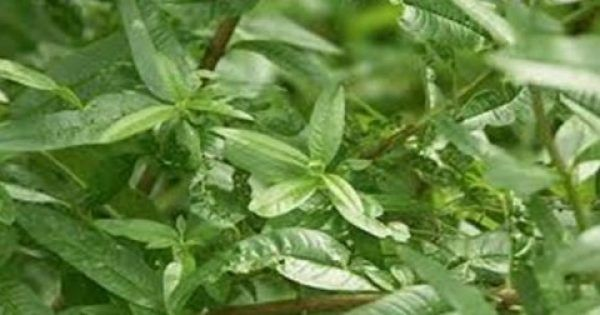 Καταπολεμά και την κυτταρίτιδα Έχει πανέμορφα μικρά άνθη σε λευκό, μοβ ή πράσινο χρώμα και υπέροχο άρωμα που θυμίζει λεμόνι. Ο λόγος για τη λουίζα, ένα βότ