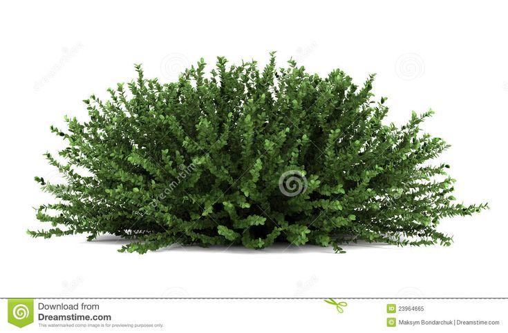 arbustos - Pesquisa Google