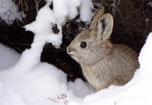 Being watched by Endangered Species Protection.  The pygmy rabbit is the smallest and one of only two rabbits in North America that creates its own burrows. An adult is from 9 to 12 inches (230-300 cm) in length and weighs from a half-pound to 1 pound (440 grams).