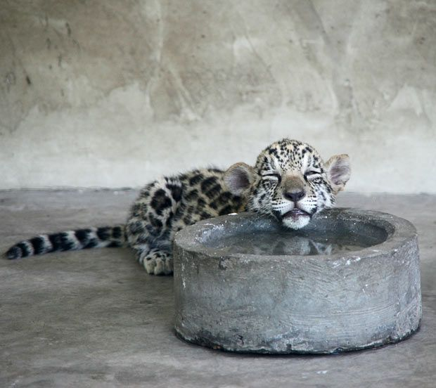 adorable baby leopard resting its head on a water bowl