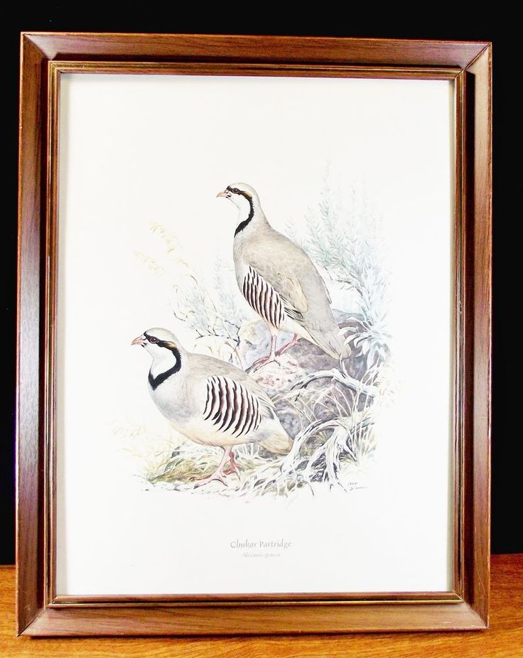 Ned Smith Game Bird Chukar Partridge (Alectoris Graeca) Framed Print Italy