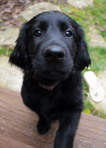 Jett, a flat-coated retriever puppy—newest addition to my brother David's 2 other Irish Setter puppies menagerie.