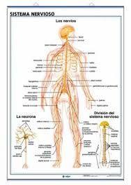 Resultado de imagen para sistema nervioso en el cuerpo para colorear