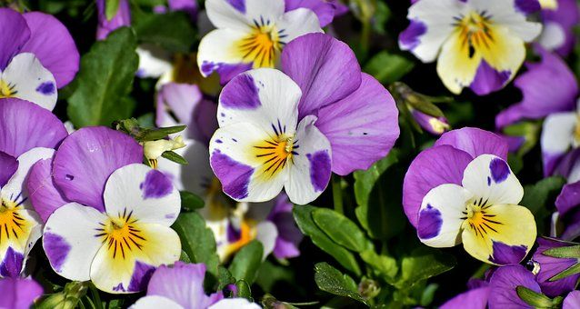 Pansy Flower Spring Close Pansies Flowers Free Images