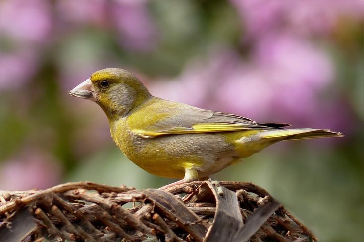 https://pixabay.com/pt/verdilhão-bird-forrageamento-jardim-818185/