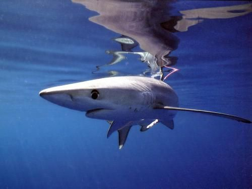 25+ best ideas about Interesting facts about sharks on Pinterest ...