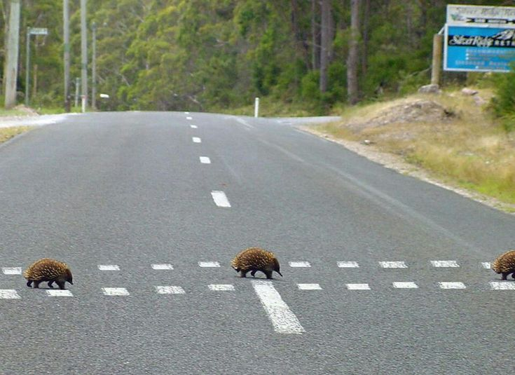 Echidna crossing, only in #Australia.
