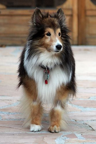 What a beautiful collie! Bonnie on the patio | Flickr - Photo Sharing!