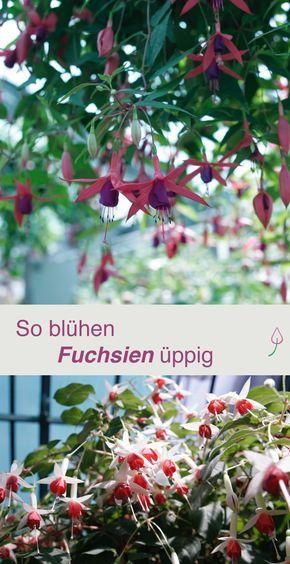 Hier findest Du Tipps zur Pflege und zur Vermehrung von Fuchsien im Garten und auf dem Balkon.