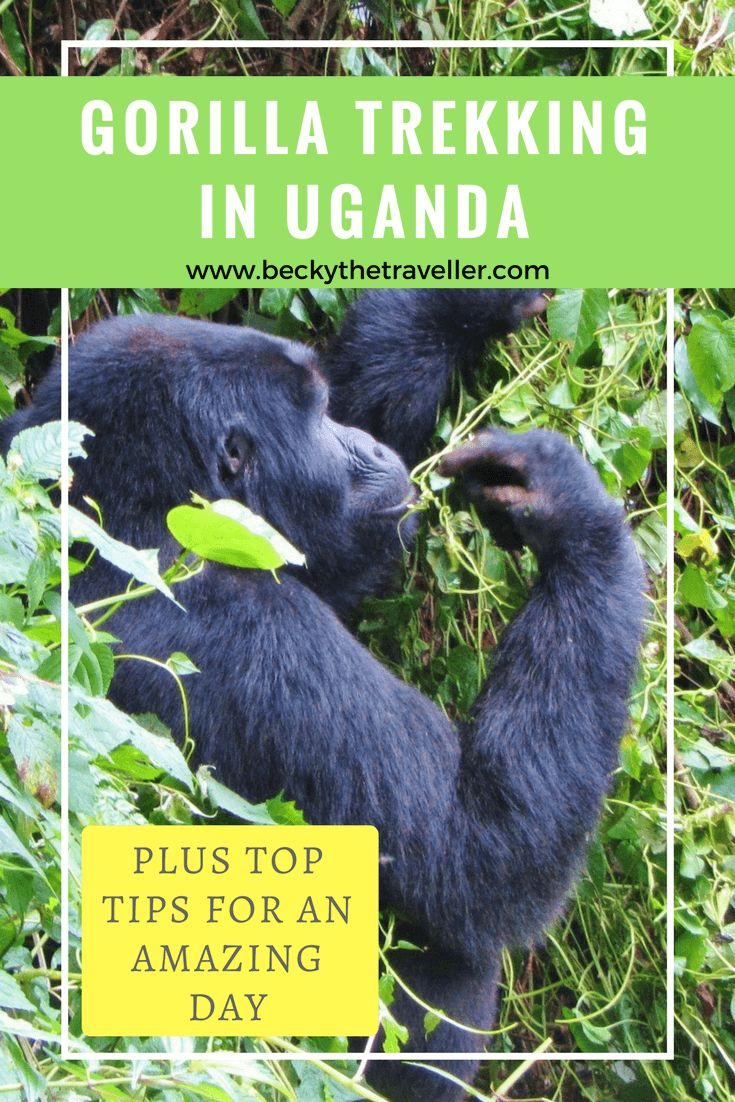 Gorilla trekking in Uganda – seeing the beautiful mountain gorillas. Is gorilla trekking in Uganda on your bucket list? But maybe the high costs are putting you off. Read about my experience gorilla trekking in Bwindi Impenetrable National Park in Uganda. I share my experience and give you some top tips for the trek. Wildlife experiences | Gorilla trekking | Gorilla safaris | Uganda gorillas | Visit UgandaA