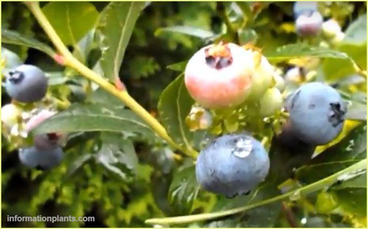 انواع العنبية Vaccinium قوائم النبات قوائم النبات معلومان عامه معلوماتية نبات حيوان اسماك فوائد Vegetables Onion Food
