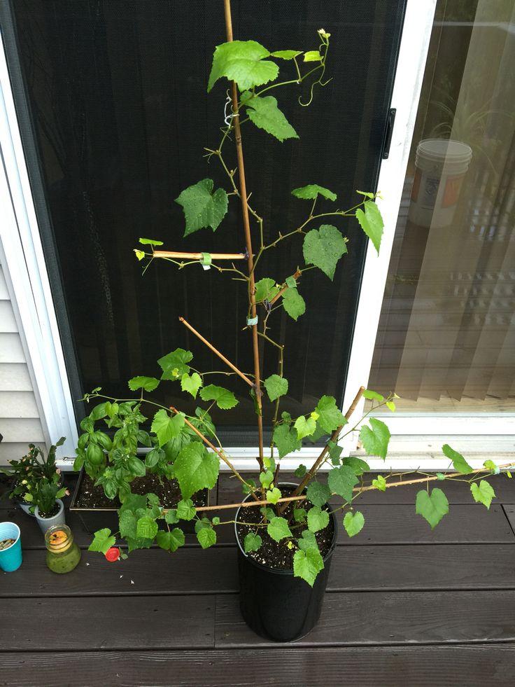grape vine - House Plants Vines