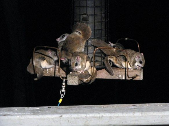 Southern flying squirrels on a nightime binge at a local birdfeeder ...