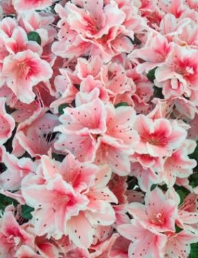 Azaleas come in a large variety of colors. These are my favorite