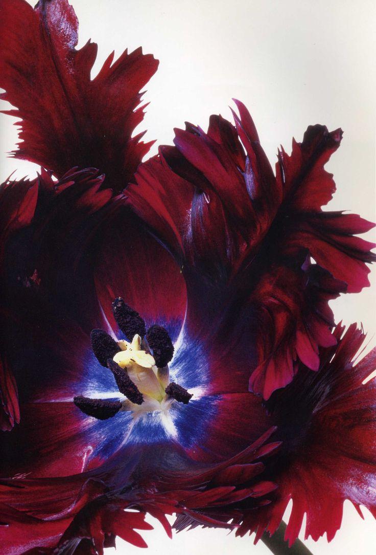 Black Parrot Tulip with Cobalt Center photographer, Christopher Beane