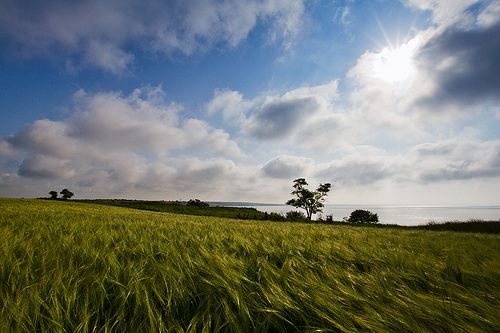 пшеничные поля / wheat fields