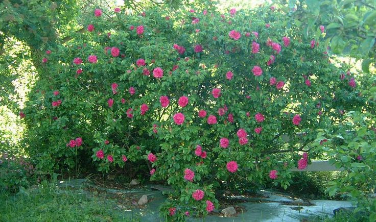 """Rosa rugosa """"Hansa"""". Flowers for a long time, sweet scen, hardy and with etable red hips in the Autumn."""