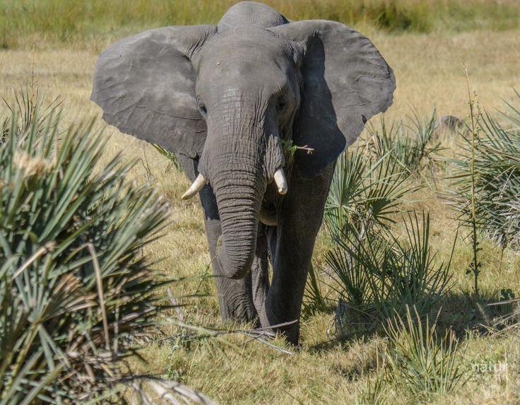 Vor unserer Terrasse stand dieser Elefant im Xigera Camp. Das Okavangodelta war eines unserer HighLites der Südafrika-Reise.
